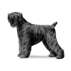 The Black Russian Terrier (), abbreviated as BRT, also known as the Tchiorny Terrier (tchiorny being Russian for black) is a breed of dog created in USSR in Red Star (Krasnaya Zvezda) Kennel during the late 1940s and the early 1950s for use as military/working dogs. At the present time, the Russian Black Terrier is a breed recognized by the FCI (FCI's from September 1983), AKC (AKC's from July 2004), CKC, KC, ANKC, NZKC and other cynological organizations. The contemporary Russian Black…