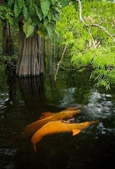 See the Amazon River Dolphins - bucket list