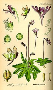 Pinguicula, commonly known as the butterworts
