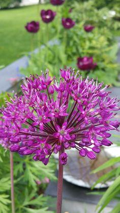 Allium Allium, Plants, Pictures, Plant, Planets