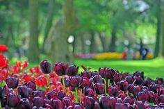 Istanbul tulip festival, Istanbul lale festivali, Emirgan
