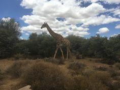 Inverdoorn Boulder Beach, Cape Town, Bouldering, South Africa, Giraffe, Animals, Felt Giraffe, Animales, Animaux