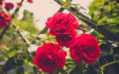 roses-gate Climbing Roses For Shade, Back Gardens, Outdoor Gardens, Climbers For Shade, Plant Guide, Pot Plante, Hardy Perennials, Shade Plants, Shade Garden