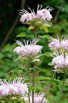 NE Native Wild bergamot or bee balm (Monarda fistulosa) - attracts bees Pink Garden, Dream Garden, Lavender Flowers, Wild Flowers, Herb Garden, Garden Plants, Horticulture, Beautiful Gardens, Beautiful Flowers