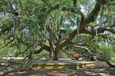 The Live Oak trees in Louisiana----would love to lie beneath one....