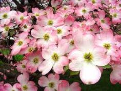 I really want a dogwood tree.  I love the story behind it along with the beauty of it when it is in bloom!!