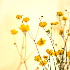 """Buttercups:  """"...and cuckoo-buds of yellow hue do paint the meadows with delight.""""  LOVE'S LABOUR'S LOST"""