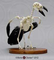 Raven skeleton