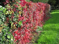 A vigorous and fast growing vine, Virginia creeper is an outstanding plant for nearly any soil and light situation. Learn how to prune Virginia creeper vine in this article.