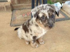 Adorable Catahoula dog such beutiful eyes!!!!