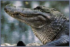 yay last animal!!!! - alligator face