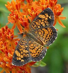 butterfly weed (Asclepias tuberosa) | Pearl Crescent on Butterfly Weed(Asclepias tuberosa) | **butterfly**