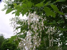 """Yellowwood - Quite simply my favorite large tree. Amazing perfume scent up to 150' away when the 24"""" white chandeliers of flowers are blooming in early summer! Nitrogen fixing roots mean the grass grows better under this tree too. Plant soon, it takes 10-15 years to get to flowering age."""