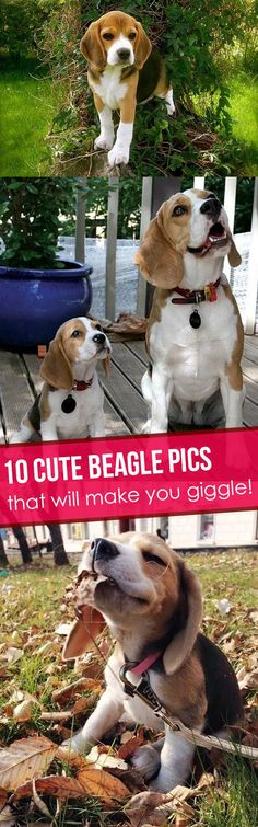 Beagles are just so cute!