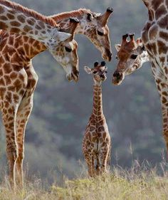Baby girafa