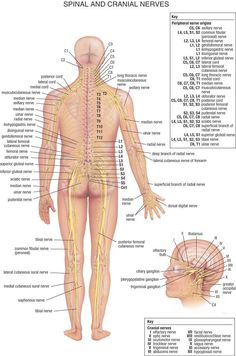Human organs diagram back view health and wellbeing pinterest detailed view of the major nerves in your body ccuart Images