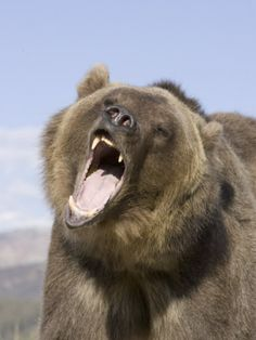 A Grizzly Bear Face Showing its Teeth and Tongue in its Open Mouth, Ursus Arctos, North America Photographic Print by Joe McDonald at AllPos...