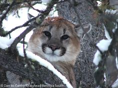 A 5 month old cougar cub resting in a tree near Jackson, Wyoming. Panthera partners with Craighead Beringia South (CBS) to conduct research on cougars to understand their movements, population dynamics, predator-prey relationships, and their interaction with other large predators. Learn more about Panthera's partnership with CBS and how we're carrying out the Teton Cougar Project @ http://www.panthera.org/programs/cougar/teton-cougar-project