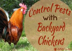 Control Pests Naturally With Backyard Chickens they really do reduce the flea and tick population! (We got them when I was a teen - drastically reduced the ticks, infact we did not see any for the years we had them!) They were free-range during the day. Organic Soil, Organic Gardening, Lily Beetle, Diy Pest Control, Mosquito Control, Chicken Eating, Garden Pests, Free Range, Chickens Backyard