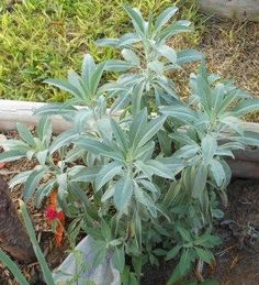White Sage is also known as Salvia Apiana sage. Aromatic Native American incense herb. Used to make the smudge sticks common in Native American ceremonies. Bushy plants with thick stems and dusty gray-green foliage.  Ready to harvest in about 80 days.
