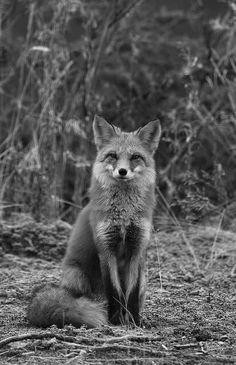 Fox..notices...