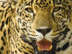 Finding and Saving Nicaragua's Last Population of Jaguars: Jaguars are among the most charismatic and important large carnivores in Latin America.  However, they have lost much of their range to human activities like logging, ranching, and hunting.