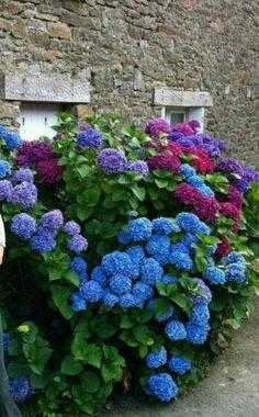 Les beaux Hortensias de Bretagne