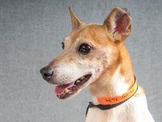 Petango.com – Meet Schooner, a 9 years 2 months Terrier / Mix available for…