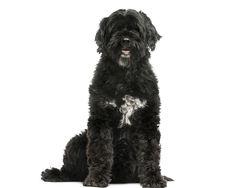 Corajoso, inteligente e resistente, o Cão de Água Português é uma raça com muita energia para gastar, pelo que o dono deve estar preparado para o exercitar diariamente. Saiba mais!