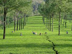 Picking tea in Kenya, Japan and India. #tea