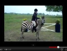 Have you ever seen a zebra show jumping? We hadn't either! Courtesy of our friends at HorseNation.com.