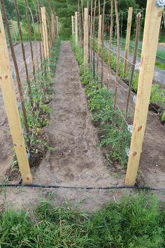 Tomato Trellis, so need to do this! would be way better than the cages! Tomato Trellis, so need to Potager Bio, Potager Garden, Veg Garden, Vegetable Garden Design, Garden Trellis, Garden Landscaping, Growing Tomatoes, Growing Vegetables, Dried Tomatoes