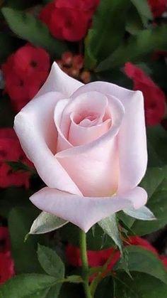 Passionate pink rose
