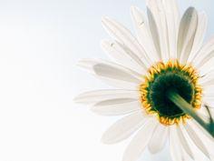 daisy-801813_960_720.jpg (960×720)