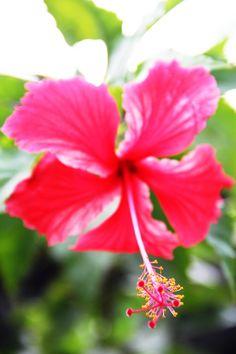hibiscus. my favorite (: