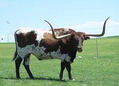 Texas Longhorn Animal | Texas Longhorn Cattle on a exotic animal park in Berlin, Ohio