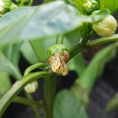 The first yummy sweet peppers starting to appear.