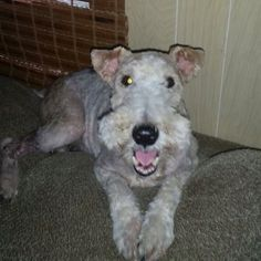 Take the picture. I'm smiling. Fox Terriers, Wire Fox Terrier, My Animal, Beautiful Dogs, Smoothies, Cheese, Pets, Hair, Pictures