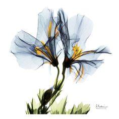 Blue Azalea in Bloom Art Print at AllPosters.com