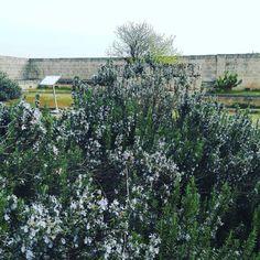 Rosmarino in fiore al Fonte Pliniano.