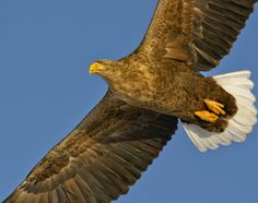 large birds | White-Tailed Sea Eagle (Haliaeetus albicilla), is a large bird of prey ...