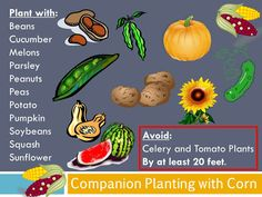 Companion Planting with Corn http://redhillgardening.blogspot.com/2012/11/companion-planting-with-corn.html