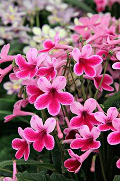 Caitlin Streptocarpus - Amateur Gardening