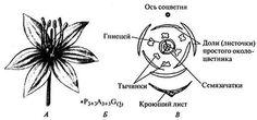 Рис. 81.Общий вид (А), формула (Б) и диаграмма (В) цветка лука - állium sp....
