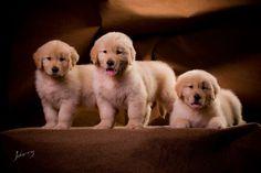three gorgeous golden babies