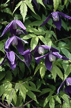 Clematis alpina 'Pamela Jackman' - light purple flowers in early spring - growing on hydrangea paniculata - blooms just before the hydrangea gets leaves - from Avant Gardens, avantgardensne.com