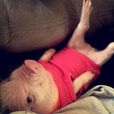 They're top-notch loafers. | 16 Reasons Pigs Make The Best Pets