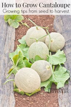 How to Grow Cantalou