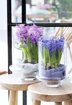 jacinthe dans un bocal : ces bulbes peuvent être cultivés sans terre ; il suffit de leur ajouter un fond d'eau et de les disposer par exemple sur un lit de billes d'argile pour qu'elles aient un peu d'humidité sans pourrir.