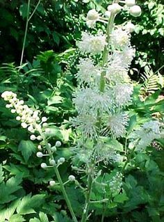 Black Cohash, over 5 ft tall, enjoys drier soil and partial shade.  Sow seeds in late summer [Location 3, my garden]